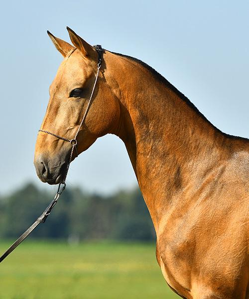 Ganzkörper-Foto von Vielseitigkeitspferd Dayan vor oldenburger Landschaft