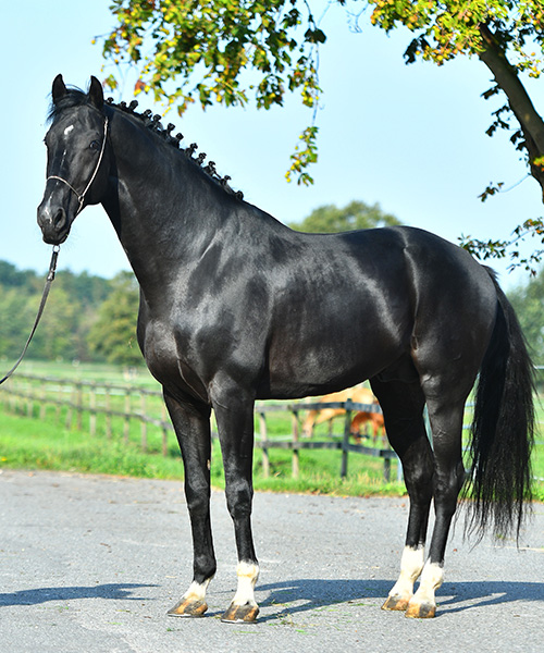 Ganzkörper-Foto von Happy Day - schwarzes Pferd