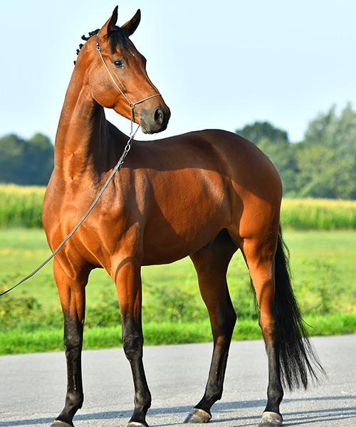Ganzkörper-Foto von top Dressur Pferd Jenairo mit leicht gedrehtem Kopf vor oldenburger Landschaft
