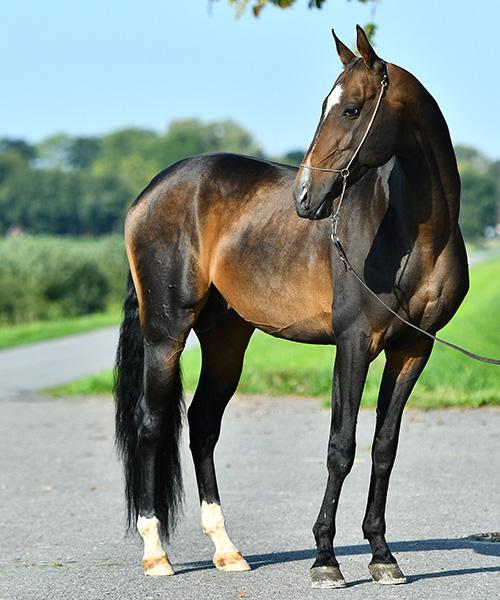 Ganzkörper-Foto von Vielseitigkeitspferd Tamga-Kan vor oldenburgerLandschaft
