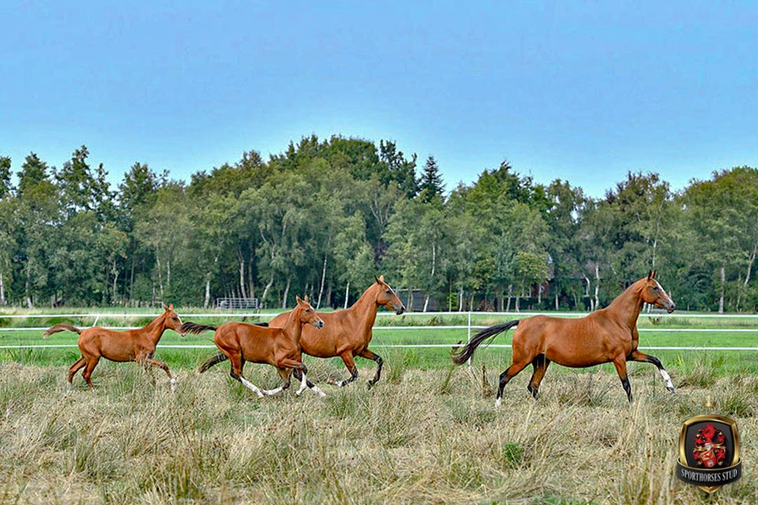 Reimer Sporthorses - Pferde auf der Koppel